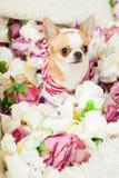 De hond zit omringd door bloemen Royalty-vrije Stock Foto