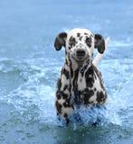De hond zwemt en komt het overzees of de rivier tegen Royalty-vrije Stock Foto