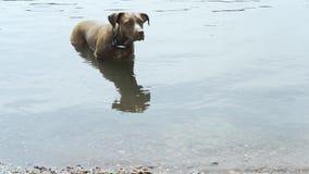 De hond zwemt in het meer stock videobeelden