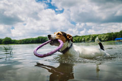 De hond zwemt in het meer met de ring royalty-vrije stock afbeelding