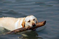 De hond zwemt stok stock foto's