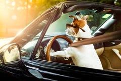 De hondbestuurders geven het drijven van een auto vergunning stock foto