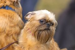 De hondclose-up van Brussel Griffon Stock Foto's