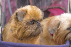 De hondclose-up van Brussel Griffon Stock Foto