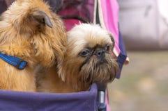 De hondclose-up van Brussel Griffon Stock Fotografie