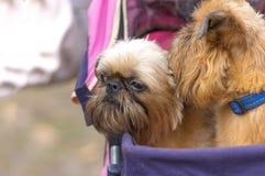 De hondclose-up van Brussel Griffon Stock Afbeelding