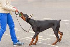 De hondclose-up van Dobermanpinscher Royalty-vrije Stock Foto