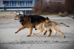 De honden Attila en Baron het spelen stock fotografie