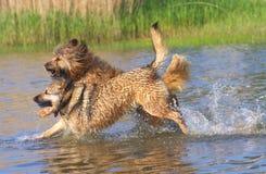 De honden die in het meer spelen Royalty-vrije Stock Fotografie