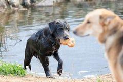 De honden die op kust van een reservoir spelen Stock Fotografie