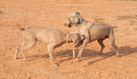 De honden die van Weimaraner en pret spelen hebben Stock Foto's