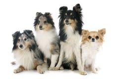 De honden en chihuahua van Shetland royalty-vrije stock foto's