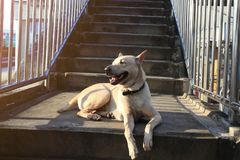 De honden hebben hun eigenaars liggend op de bruggen Stock Foto's