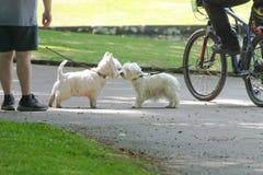De honden komen in het park samen tijdens gang stock fotografie
