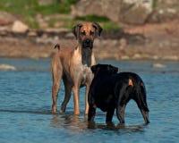 De honden komen op het strand samen Royalty-vrije Stock Foto