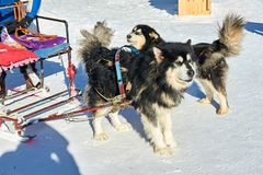De honden in de de sneeuwstad van China ` s stock fotografie