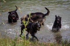 De honden spelen in het meer Stock Foto's