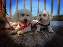 De honden van Bichonfrise Royalty-vrije Stock Foto's