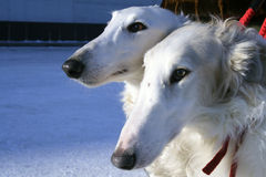 De honden van Borzoi Stock Afbeeldingen