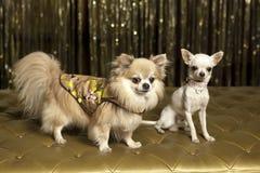 De honden van Chihuahua in uitrustingen stock afbeelding