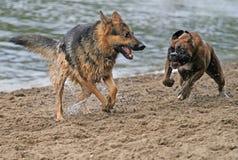 De honden van de actie stock afbeelding