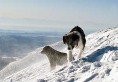 De honden van de berg Stock Afbeelding