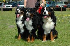 De Honden van de Berg van Bernese royalty-vrije stock foto