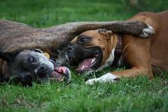 De honden van de bokser het spelen Stock Afbeeldingen