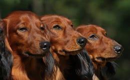 De honden van de boom in lijn royalty-vrije stock foto's