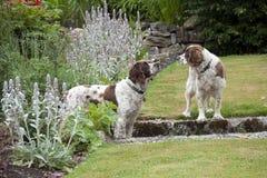 De honden van de cocker-spaniël in de tuin Stock Afbeeldingen