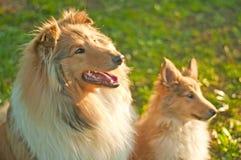 De honden van de collie royalty-vrije stock fotografie