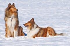 De honden van de collie in sneeuw Royalty-vrije Stock Fotografie