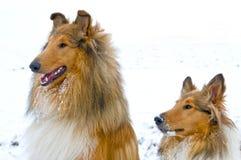 De honden van de collie in sneeuw Stock Foto's