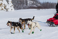 De honden van de Iditarodslee Stock Afbeeldingen
