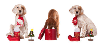 De honden van de inzameling zit met Kerstmissnuisterijen Royalty-vrije Stock Foto's