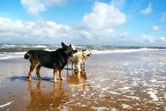 De honden van de kustlijn Royalty-vrije Stock Foto's