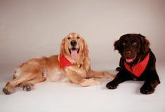 De Honden van de retriever Stock Afbeeldingen