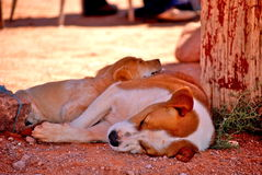 De Honden van de slaap Royalty-vrije Stock Afbeeldingen