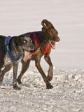 De honden van de sneeuw Royalty-vrije Stock Foto