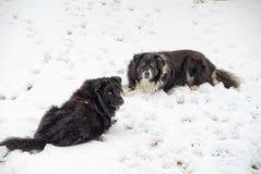 De Honden van de sneeuw Royalty-vrije Stock Foto's