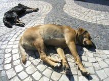 De honden van de straat Stock Afbeeldingen