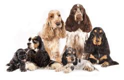 De honden van groepsspanielen Stock Foto