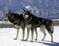 De Honden van het lood Royalty-vrije Stock Afbeeldingen