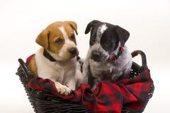 De honden van het puppy in mand Stock Afbeeldingen