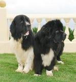 De honden van Newfoundland Royalty-vrije Stock Afbeeldingen