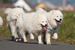 De honden van Samoyed Stock Afbeeldingen