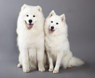 De honden van Samoyed Royalty-vrije Stock Foto's