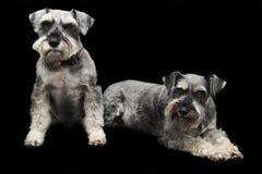 De honden van Schnauzer royalty-vrije stock fotografie