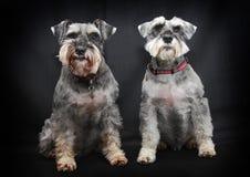 De honden van Schnauzer Stock Afbeelding