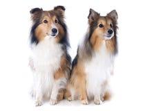 De honden van Shetland stock foto